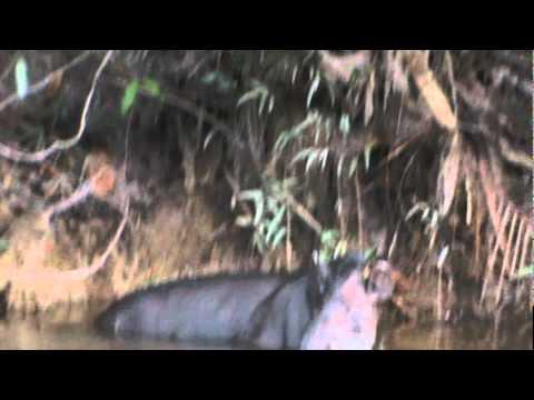 ANTA DA AMAZONIA