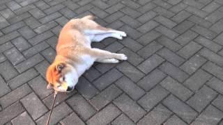 Shiba-dog Taro お散歩から帰りたくないよ〜。