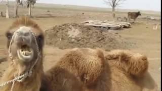 +Vine+ Верблюд /CHUM/
