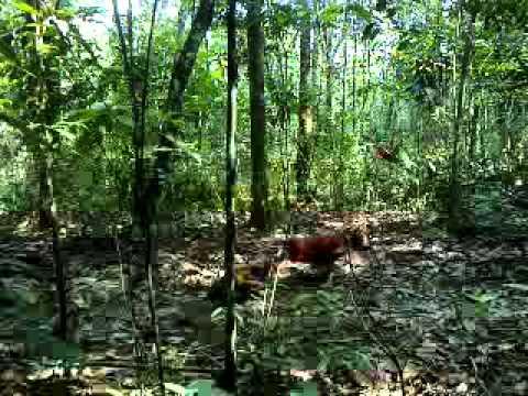 Pikat Ayam Hutan 2015 sisimba vs ayam gajah