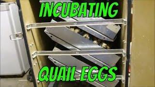 Incubating Quail Eggs