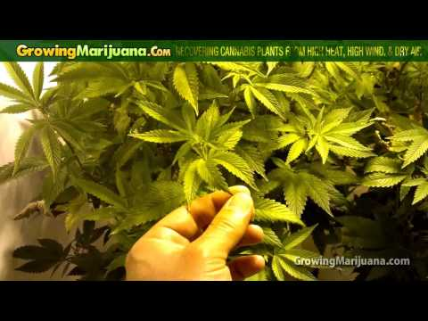 Recovering Cannabis Plants From High Heat, High Wind, and Dry Air