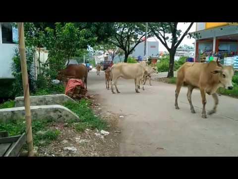 Video Sapi... Jalan Bergerombol Layaknya Anak ABG dan Menghalangi Jalan Raya