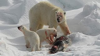 National Geographic Animal - The Great Polar Bear Family Discovery Channel | Animal Documentary