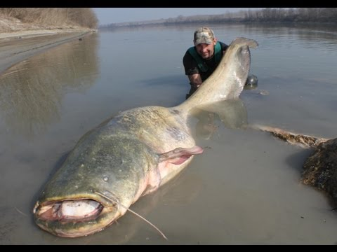 CATFISH YURI GRISENDI FIGHT A MONSTER OVER 100 KG by CATFISHING WORLD