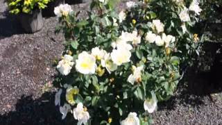 Knockout Rose Bushes in our yard in partial sun