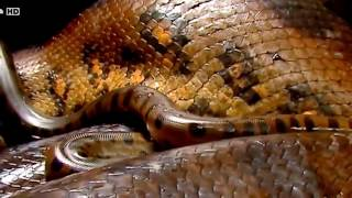Anaconda - National Geographic Animals