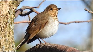 Grive à dos olive,   Swainson's Thrush