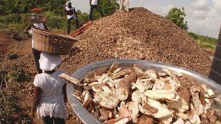 غانا: كيفية تحويل نفايات نبات الكسافا إلى مواد غذائية؟ - futuris