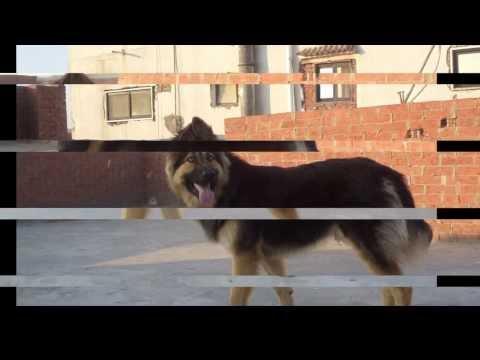 تدريب كلب بلجيكي علي مستوي عالي