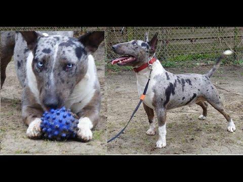 Pelea de perros Bull terrier mascota o asesino