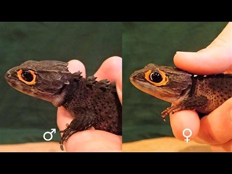 Xxx Mp4 How To Sex Crocodile Skinks Tribolonotus Gracilis Helmskink Geschlechtsbestimmung 3gp Sex