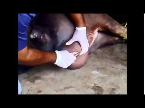 Castración en porcinos