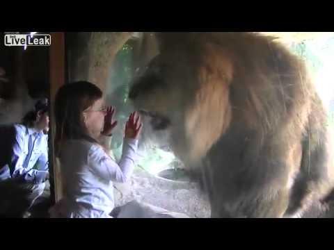 Amazing Staredown-Lion Vs Little Girl