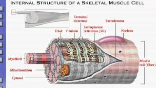 Anatomy & Physiology Review of Skeletal Muscle Tissue Original