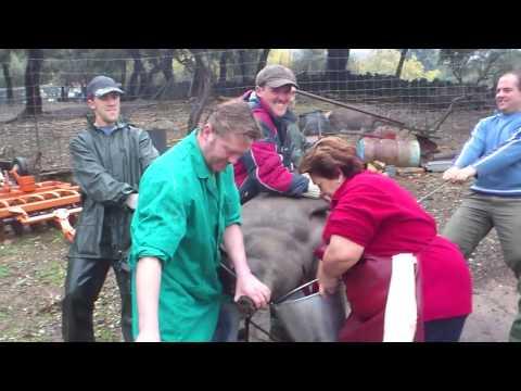 Matanza de cerdo iberico aracena 2010
