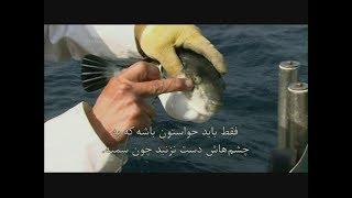خوردن سّمی ترین ماهی دنیا ، بادکنک ماهی فوگو