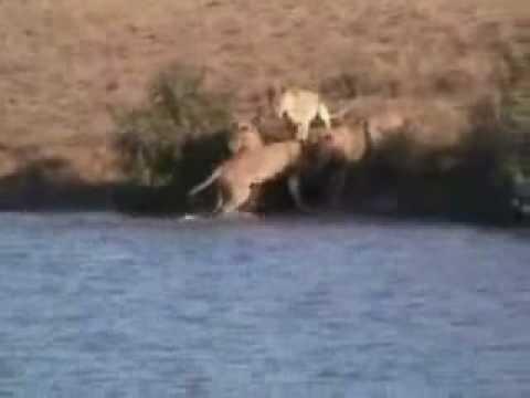 Búfalos Salvam Um Filhote de Leões Instinto Materno