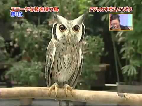 Japanese transforming owl.mp4