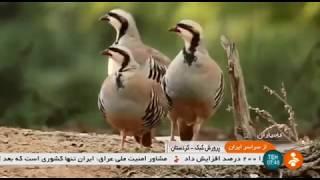 Iran Partridge farming report, Kamyaran county گزارشي از پرورش كبك شهرستان كامياران ايران