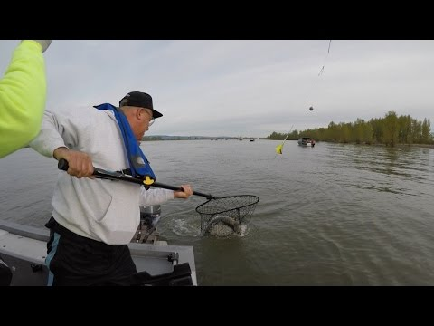 Columbia River Spring Chinook Salmon at Davis Bar in Portland Oregon April 16 2017.