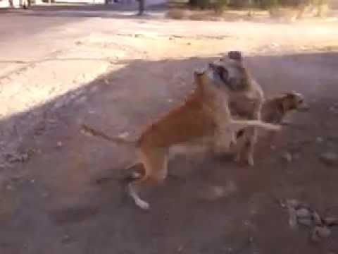pelea de perros por una perra
