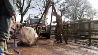 Lifting downer cow