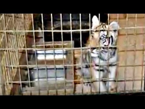 This 'Sanctuary' Kept a Tiger Caged in a Basement