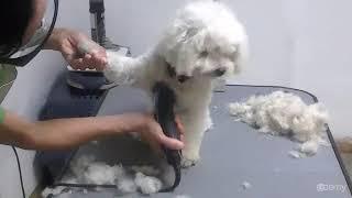 Curso Básico de Peluquería Canina : Paso 1: Corte Inicial