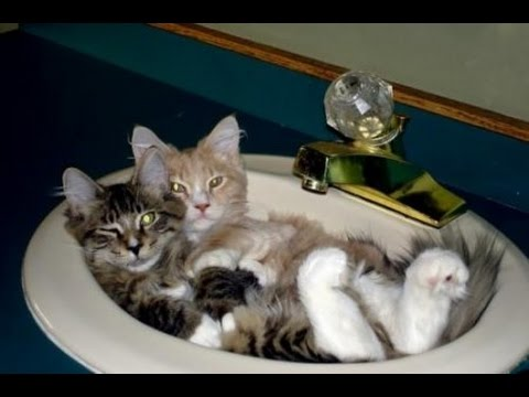 Cats are the kings of animal comedy Best Funny Cat videos Compilation 2016