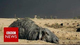 Black sheep of Iraq - BBC News