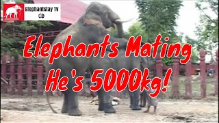 Elephants mating successfully