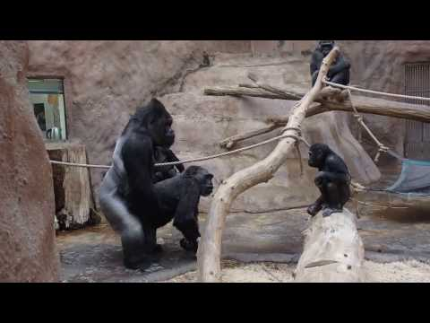 Xxx Mp4 ZOO Prague Gorillas Kamba And Richard They Celebrate Her Birthday 45 3gp Sex