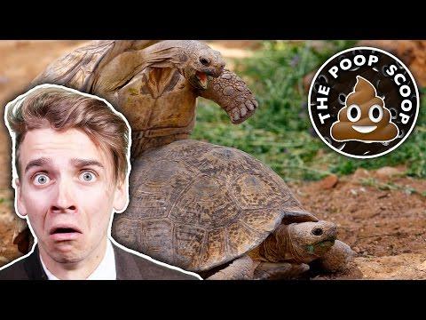 Xxx Mp4 TORTOISE SEX SCANDAL The Poop Scoop 4 3gp Sex