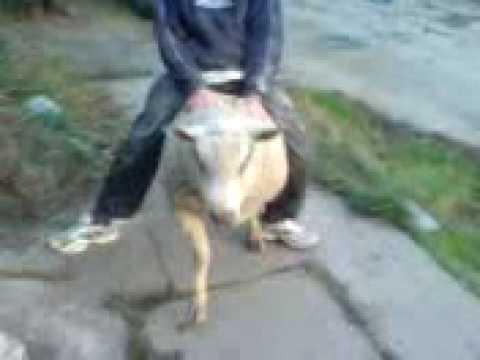 Ram riding