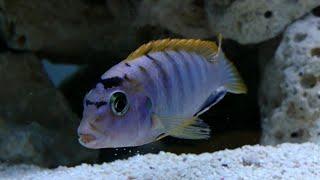 Labidochromis Hongi Red Top Aggressive Malawi Mbuna Cichlid