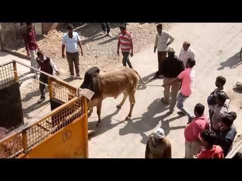 Xxx Mp4 Indian Viral Video DANGER Angry BULL Danger Bull Control Mans 3gp Sex