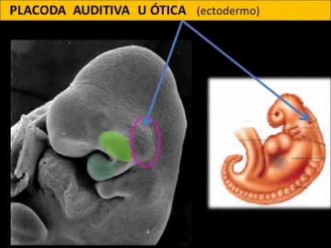 Video Desarrollo Embriológico Craneofacial Parte 1.wmv