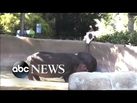 LAPD searches for man seen spanking a hippo at the zoo