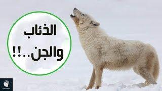 حقائق غريبة لا تعرفها عن الذئاب | هل يأكل الذئب الجن؟؟ وما هي نقطة ضعف الذئب الرئيسية؟