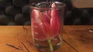SULFURIC ACID vs. FLOWER *Chemical Reaction*