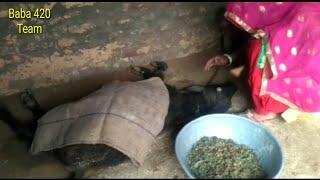 काटड़े की मौत का दुःख हरियाणवी राजस्थानी कॉमेडी वीडियो | Haryanvi, Rajasthani, Marwari Comedy Funny