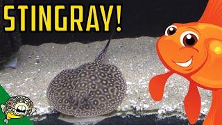 Stingrays, Bettas, Medakah Rice Fish. Oh My! Daily Dose #25