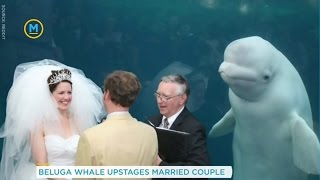 A couple's wedding was photobombed by a beluga whale | Your Morning
