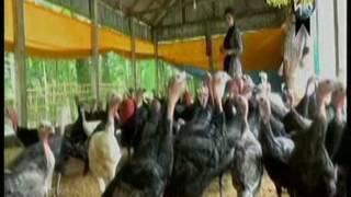 Tarkey Farm-Bangladash- টার্কি পালন-সহজ পদ্ধীও-video