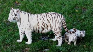 White tiger gives birth to two cubs in French zoo