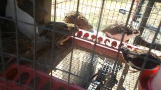 ~HOW TO RAISE COTURNIX  QUAIL FOR FOOD AND PROFIT~