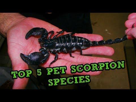 Xxx Mp4 Top 5 Pet Scorpion Species 3gp Sex