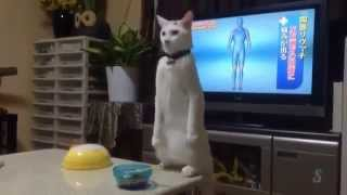 Strange Cat walk backwards - Funny Cat - Crazy Cat - Weird Cat - Funny Kitten