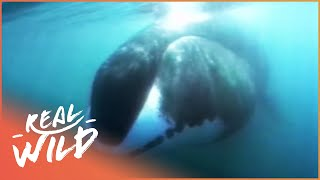 Ice Giants [Bowhead Whale Documentary] | Wild Things